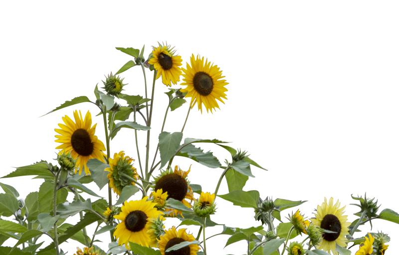 Freisteller Blumen